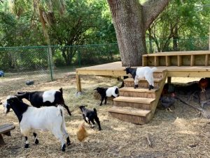 Goats in their Play Area at A Country Place Assisted Living Facility.