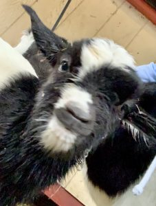 Day Old Myotonic Goat at A Country Home Assisted Living facility.